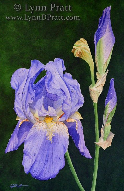 Morning Dew iris2 13x19 watermark